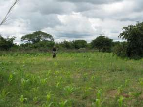 The maize plants, which should be 1.5m by now