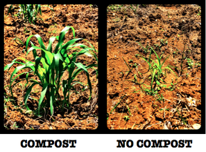 Sorghum grown with and without SOIL compost