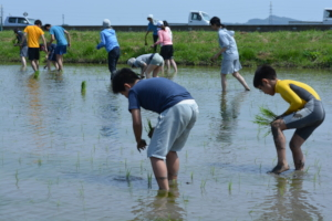 Planting rice in organic rice field