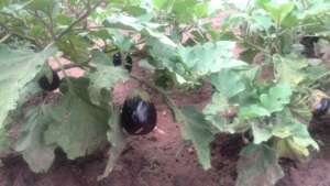 Aubergines give a great lift to our lunch