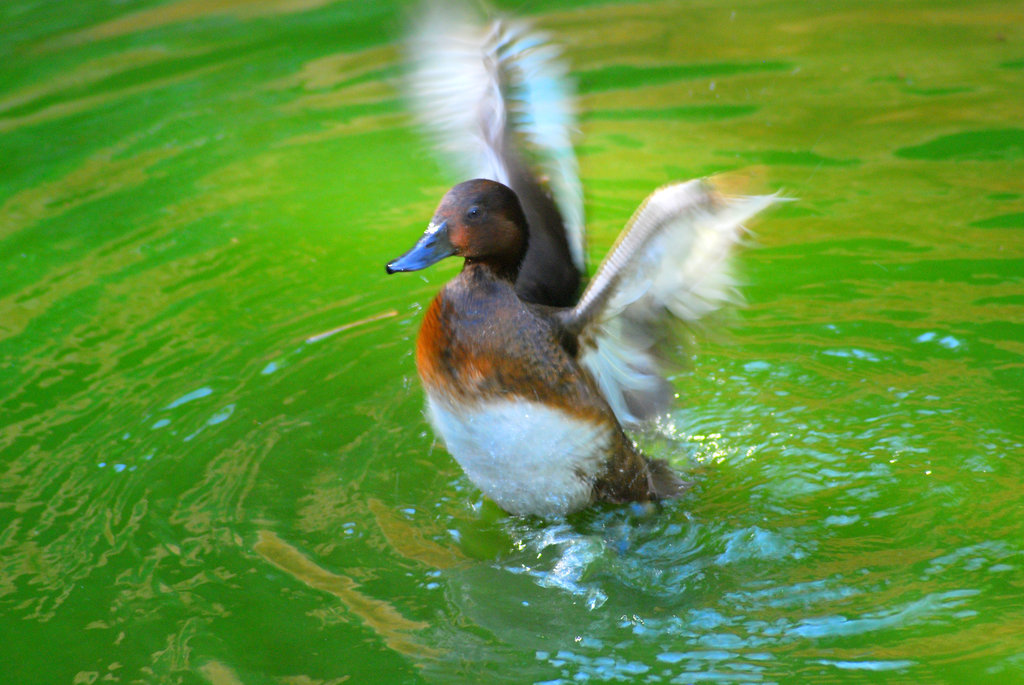 Bring Back Israel's Diving Ducks