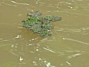Algae-like substance growing on water surface_RS.jpg