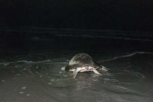 an olive ridley making her way back to the ocean