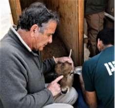 A vet cares for a deer sedated for transportation