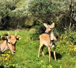 Two young deer are released into the wild