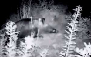 Wild boar captured by infra-red monitoring camera