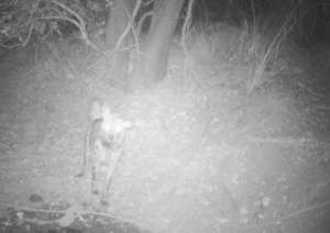 An image of a striped hyena from our camera traps