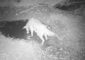 A striped hyena in the Persian fallow deer area
