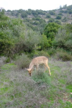 A deer released at the Nahal Soreq Nature Reserve