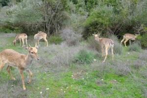 Released deer exploring their new environment