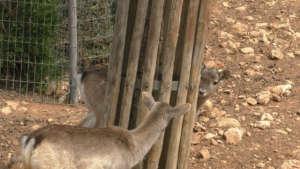 Deer at the Jerusalem Zoo breeding core