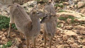 New fallow deer from Opel Zoo in Germany