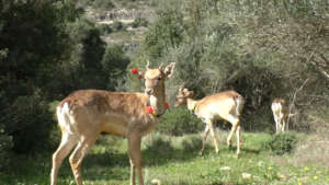 Released deer fitted with transmitters