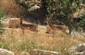 Unmarked females in Nes Harim