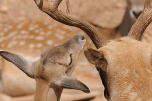 Persian Fallow Deer core breeding group at the Zoo