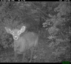 A released deer is spotted by an infra-red camera