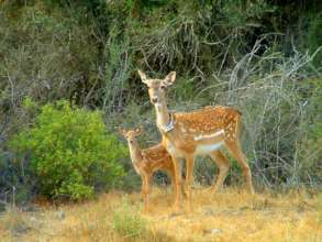 A collared female with her fawn born in the wild