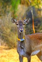 A released female Persian Fallow Deer