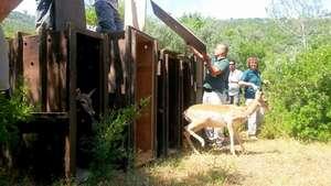 Releasing a deer in May 2015