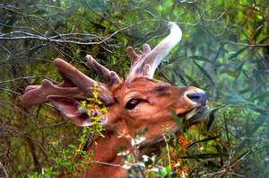 A magnificent male deer roams free