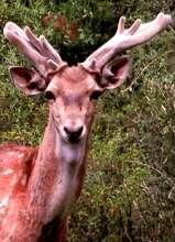 A majestic male Persian Fallow Deer