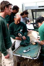 A tranquilized deer undergoes a health check