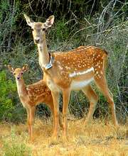 A female deer with a fawn born in the wild
