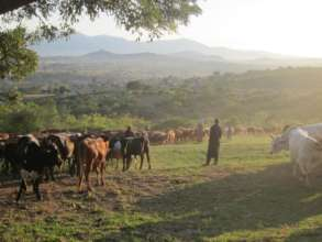 Heading home after cattle dipping