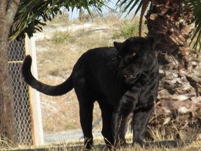 Black Jaguar at Yaguar Xoo