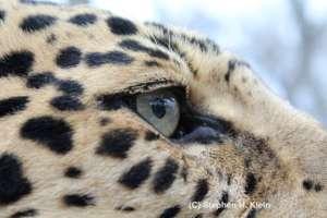 Male jaguar at Yaguar Xoo