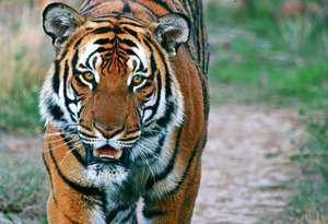 One of only 3200 Tigers remaining in the wild. . .