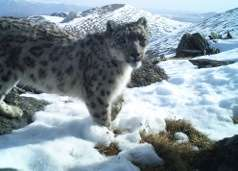 One of only 4500-7000 snow leopards remaining