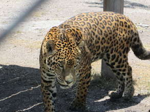Critically endangered Mexican Jaguar