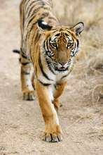 Very rare South China tiger