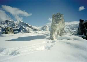 A snow leopard in the wild