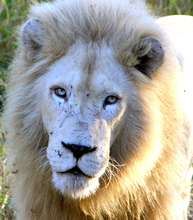 1 of only 5 known male white lions in the wild