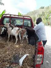 Delivering goats to rural families