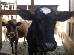 Fresian and Jersey breeds of cows during field tri