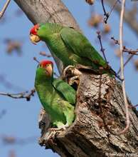Red-crowned Amazon pair