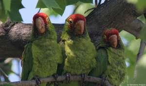 Cherry-headed conures