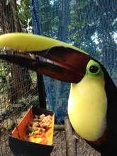 Chestnut mandible toucan - Ramphastos swainsonii
