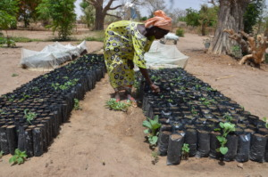 Preparing tree saplings for reforestation