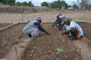 Planting nutritous vegetables in the prepared soil