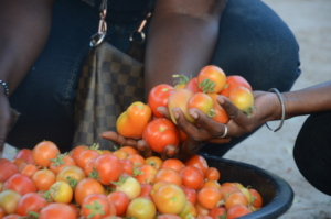 Bountiful tomato harvest in the community of Walo!