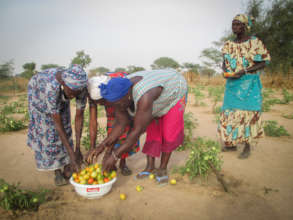Harvesting tomatoes in Keur Daouda
