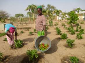 Women in Darou Diadji harvest tomatoes