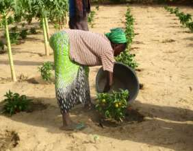 Women water vegetables twice daily in hot weather