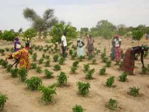 Weeding pepper plants in Darou Diadji