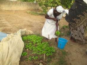 Transplanting lettuce seedlings