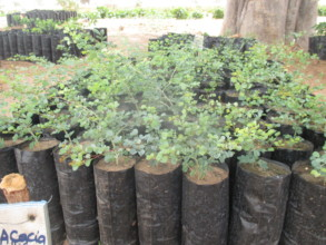 Acacia saplings are used in living fences